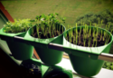 Can Urban Vegetable and Herb Farming Feed Bangkok